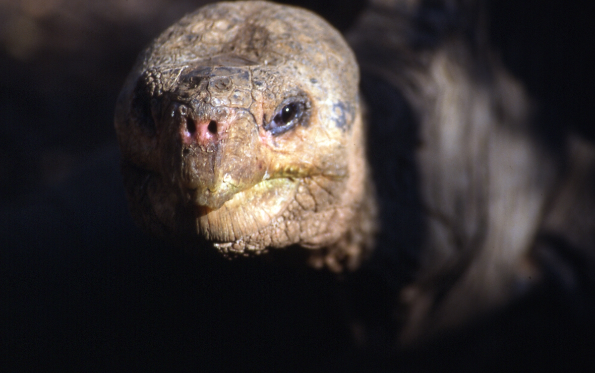 The Face of Extinction - who killed Lonesome George?   Galapagos diary # 3